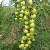 A Simple Way to to get Larger Yields for your Home Garden