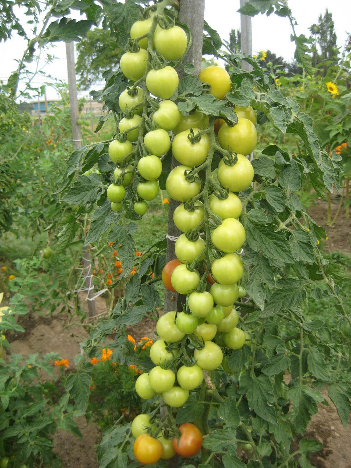 How to plant tomatoes in a garden - How To Plant Tomatoes In A Garden 8